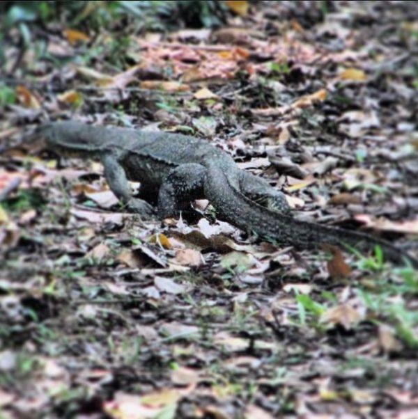 A monitor lizard.