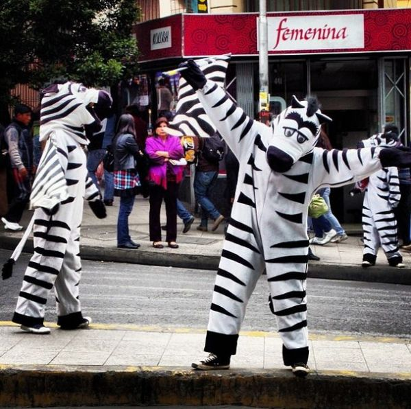 Traffic zebras in La Paz.