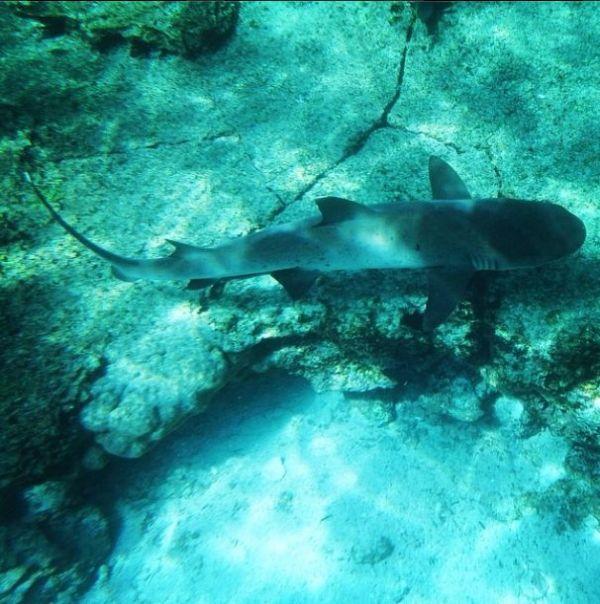galapagos-shark