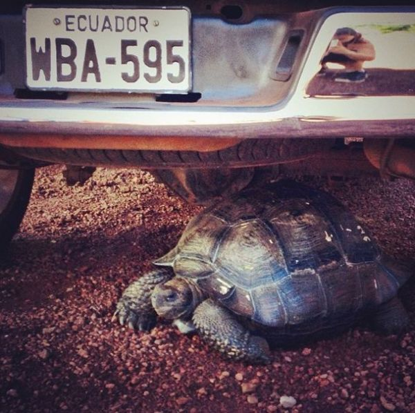 #GalapagosProblems: When a tortoise blocks your truck.